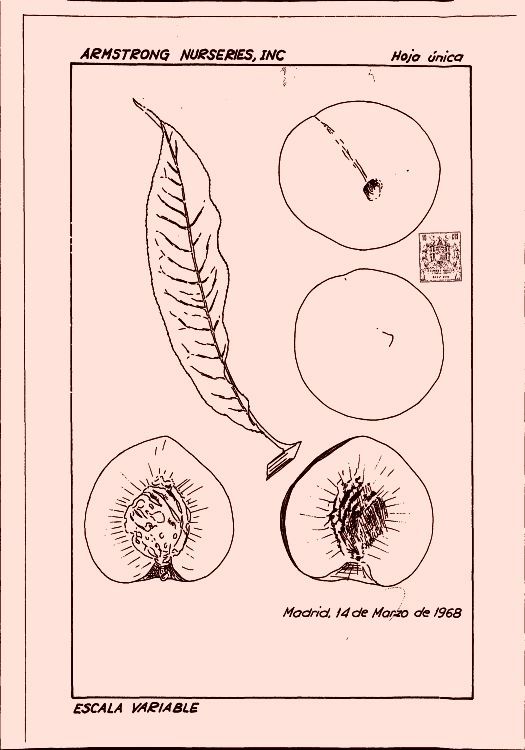 PLANTA DE MELOCOTON.
