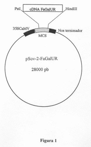 CONSTRUCCION DE ADN Y METODO PARA INCREMENTAR LA PRODUCCION DE VITAMINA C EN UNA PLANTA.