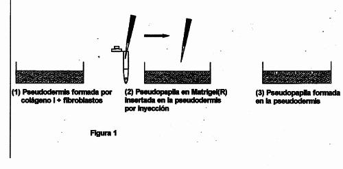 EQUIVALENTE DE PIEL/CABELLO CON PAPILAS RECONSTRUIDAS.