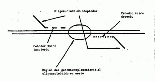 HIBRIDACION POR FLUORESCENCIA COMPARATIVA A MICROSERIES DE OLIGONUCLEOTIDOS.
