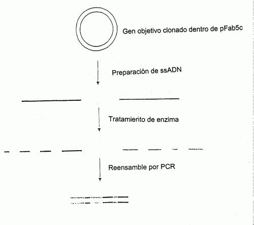 METODO PARA LA EVOLUCION MOLECULAR IN VITRO DE UNA FUNCION PROTEINICA.