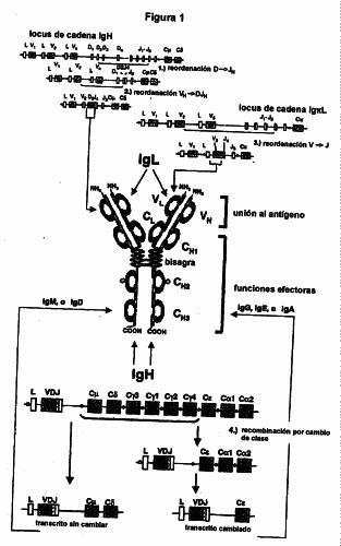 METODO PARA LA GENERACION DE LINFOCITOS PRECURSORES DE VERTEBRADOS GENETICAMENTE MODIFICADOS, Y USO DE LOS MISMOS PARA LA PRODUCCION DE PROTEINAS DE UNION HETEROLOGAS.