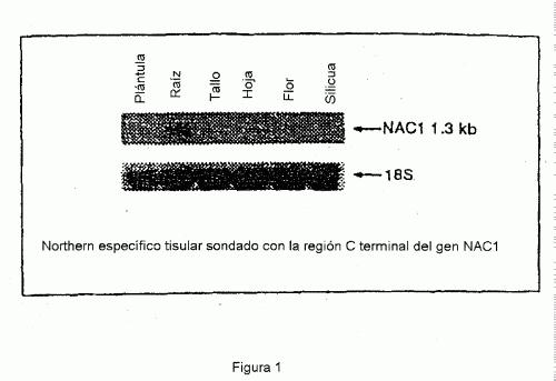 NAC1- UN GEN DE PLANTA QUE CODIFICA PARA UN FACTOR DE TRANSCRIPCION IMPLICADO EN EL DESARROLLO DEL COTILEDON Y DE LA RAIZ LATERAL.