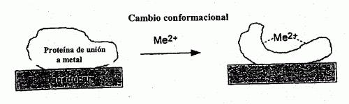 SENSOR DE AFINIDAD CAPACITIVO ESPECIFICO DE IONES METALICOS.