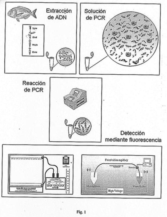 METODO MOLECULAR PARA EL ESTUDIO GENETICO DE POBLACIONES Y EL ANALISIS DE PEDIGRI DE LA DORADA (SPARUS AURATA) Y KIT CORRESPONDIENTE (SPARUS AURATA GENOTYPING AND PATERNITY TOOL KIT).