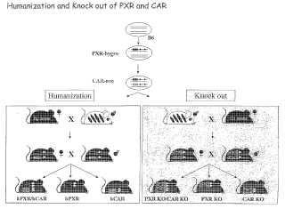 Animales transgénicos para evaluar el metabolismo y la toxicidad de un fármaco.