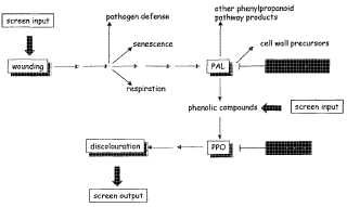 Método de cribado para la selección de plantas que muestran una reducida decoloración de superficie inducida por herida, y planta y partes de planta así obtenidas.
