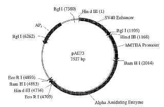 Líneas celulares para expresar enzima útil en la preparación de productos amidados.