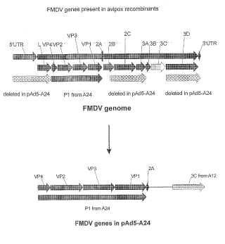 Genes del virus de la fiebre aftosa que expresan avipox recombinantes.