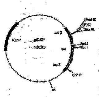 Secuencias de nucleótidos para el gen TAL.