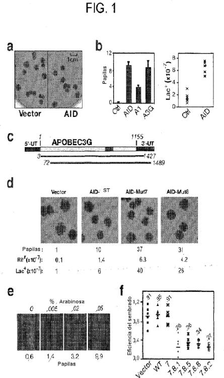 Mutantes de la citidina desaminasa inducida por activación (AID) y procedimientos de uso.