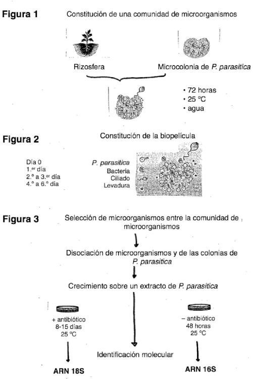 Tratamiento de las plantas contra la infección por oomicetos.