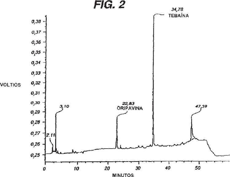 Producción mejorada de tebaína y oripavina mediante Papaver somniferum.