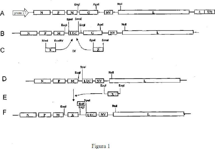 Novirhabdovirus recombinantes y usos de los mismos.