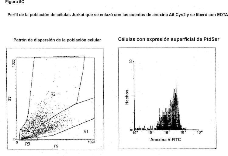 Anexinas, derivados de las mismas, y variantes de la anexina-Cys, al igual que usos de diagnóstico y terapéuticos de las mismas.