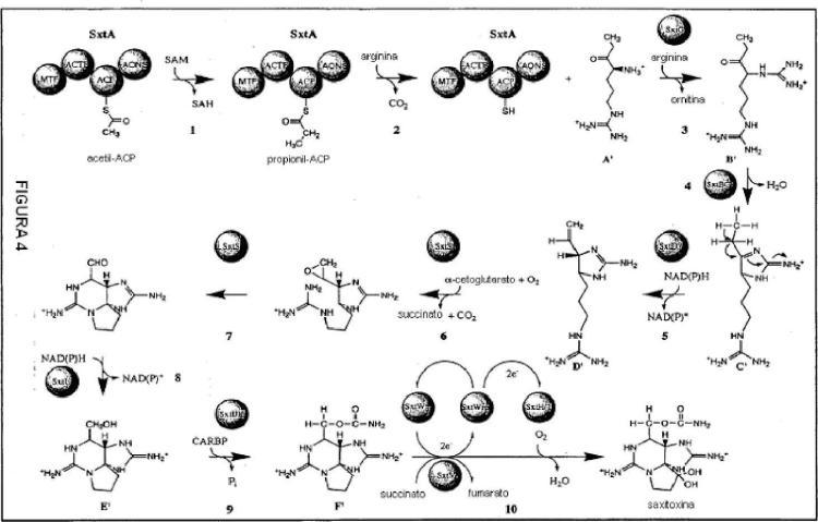 Agrupación de genes de saxitoxina de cianobacterias y detección de organismos cianotóxicos.