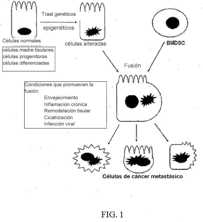 Modelo de carcinogénesis por fusión de células madre.