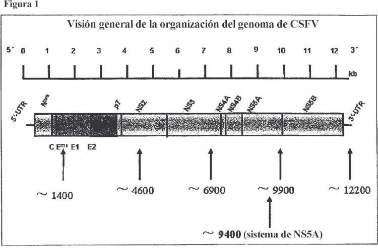 Método para la detección específica del virus de la peste porcina clásica.