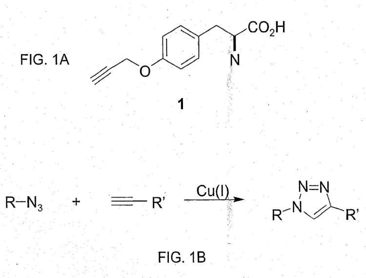 Incorporación in vivo de alquinil aminoácidos a proteínas en eubacterias.