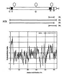 Gen de beta 1,2 xilosil transferasa procedente de Arabidopsis.