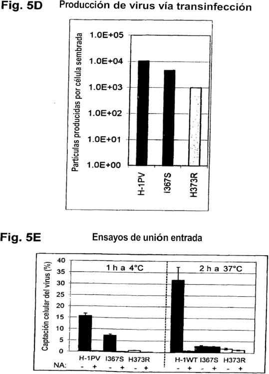 Reorientación de parvovirus de rata H-1PV hacia células oncológicas mediante manipulación genética de su cápside.