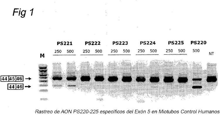 Procedimientos y medios para el salto eficiente del exón 45 en el pre-ARNm de la distrofia muscular de Duchenne.