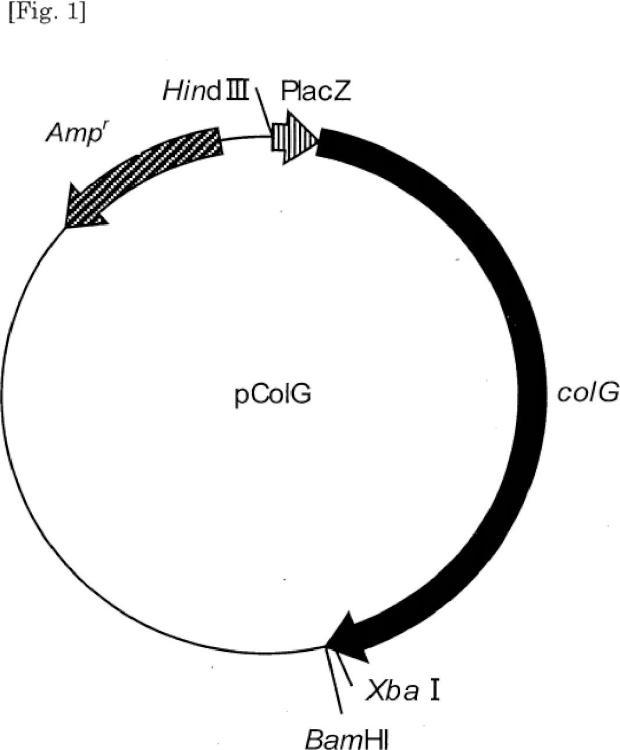 Colagenasa de fusión a la que se une una marca de afinidad, y método para producir la misma.