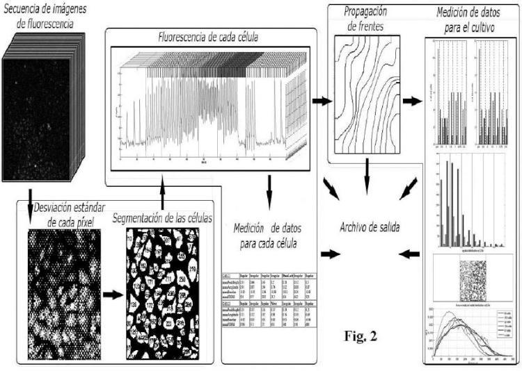Método implementado por ordenador para caracterización dinámica de células en cultivos celulares y programas informáticos para llevar a cabo el método.