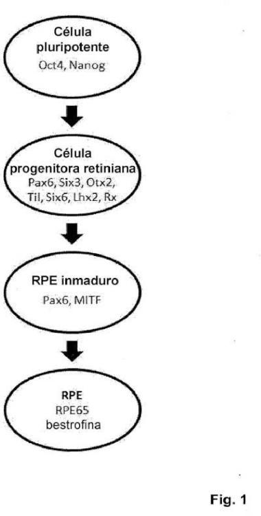 Método para producir células progenitoras retinianas polarizadas a partir de células madre pluripotentes y su diferenciación para dar células del epitelio pigmentario retiniano.