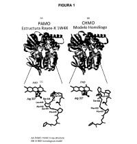 VARIANTES DE ENZIMA FENILACETONA MONOOXIGENASA (PAMO) CAPACES DE CATALIZAR CONVERSIÓN DE CICLOHEXANONA A CAPROLACTONA.