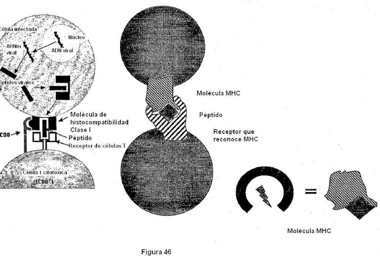 Construcciones de moléculas MHC y sus usos para el diagnóstico y terapia.