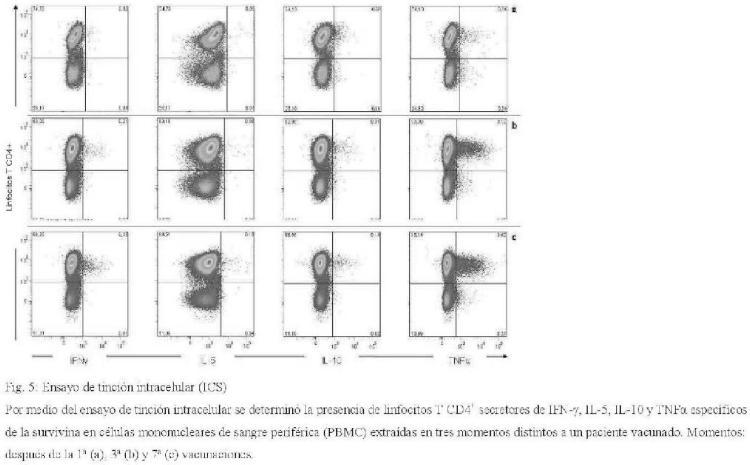 Nuevos y potentes péptidos del MHC de clase II derivados de la survivina.