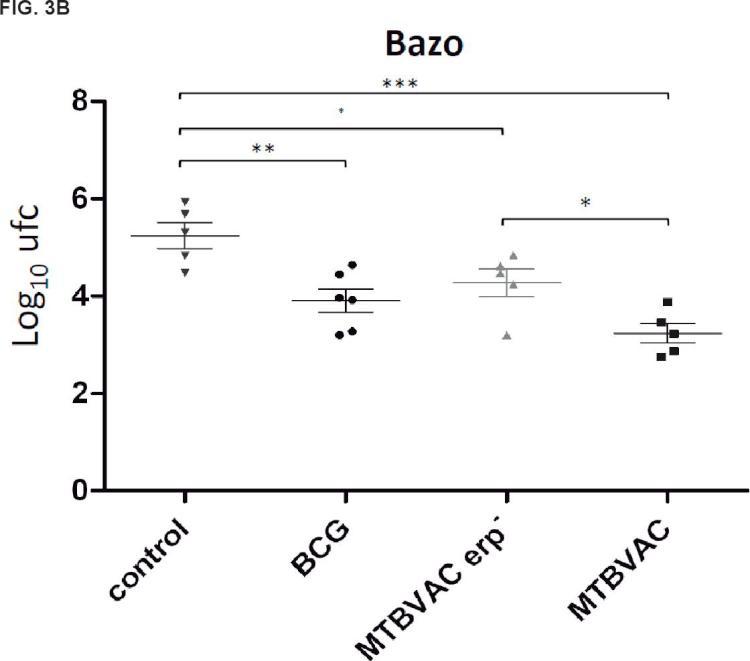 TRIPLE MUTANTE DEL COMPLEJO MYCOBACTERIUM TUBERCULOSIS erp-, phoP- y DIM-.