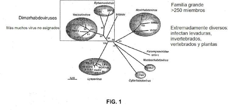 Rhabdovirus oncolítico.