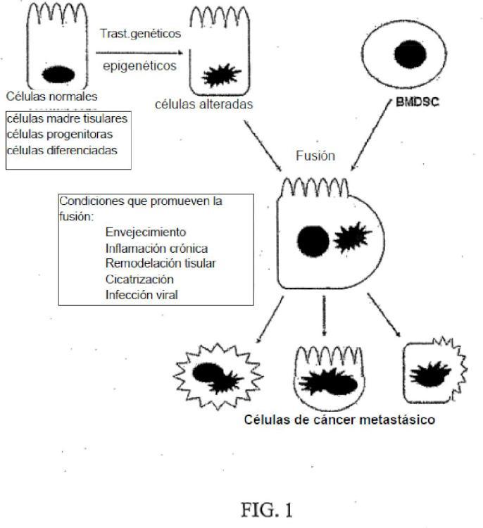 Procedimiento para la inhibición de metástasis en un modelo de carcinogénesis por fusión de células madre.