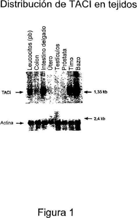 Un receptor de superficie de linfocitos que se une a CAML, ácidos nucleicos que lo codifican y métodos de uso del mismo.