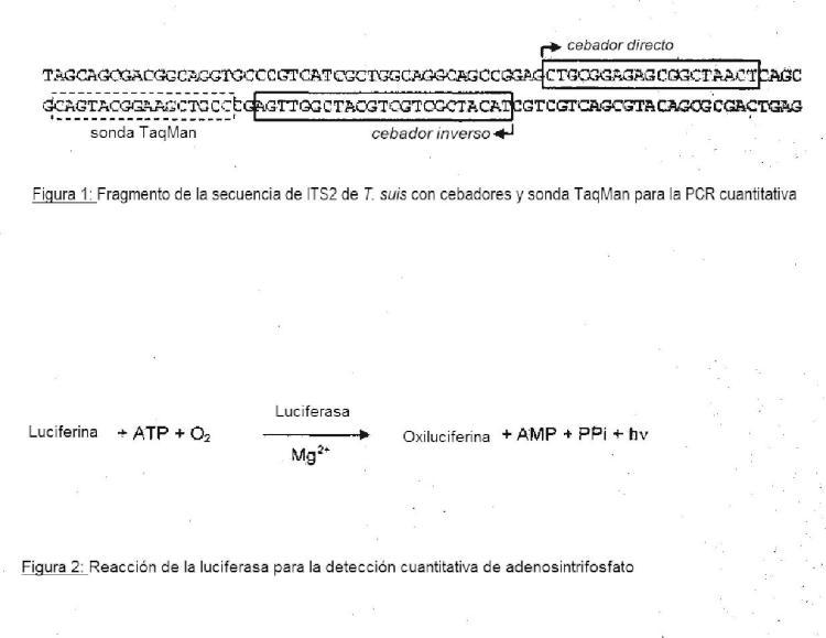 Procedimiento para la caracterización de la actividad biológica de huevos de Trichuris.