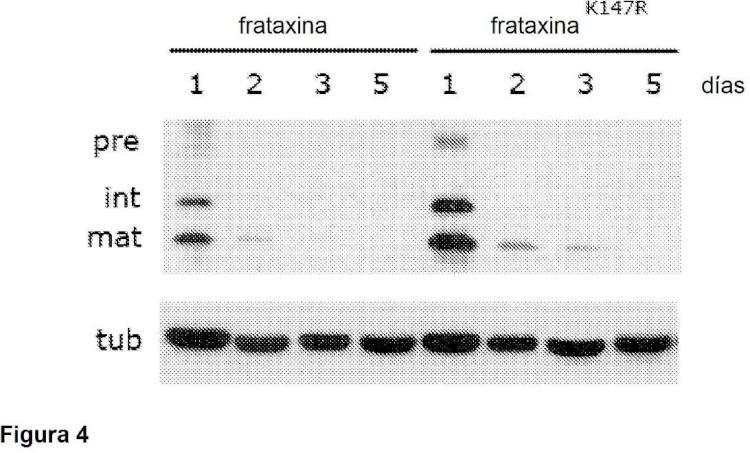 Mutantes de frataxina.