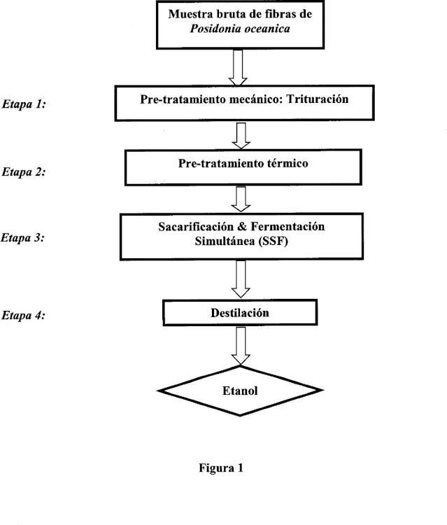 Procedimiento para la transformación de Posidonia oceanica seca para producir bioetanol de segunda generación.