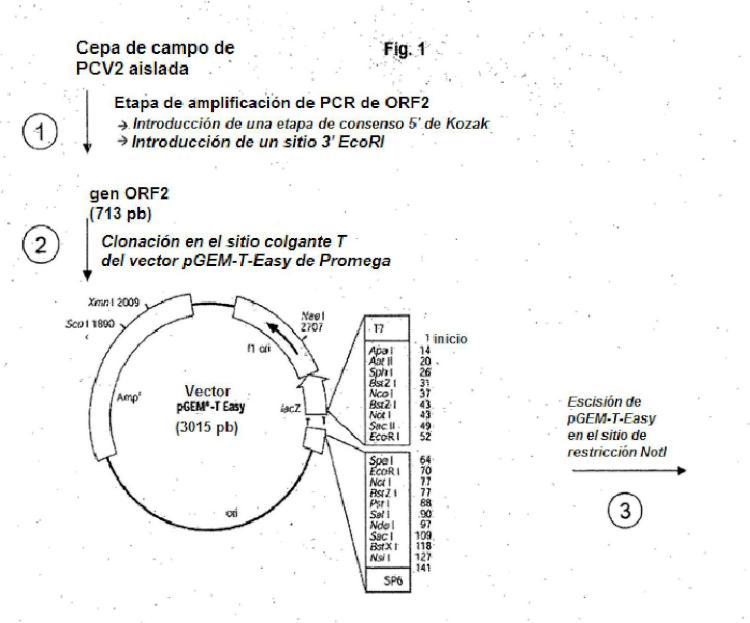 Uso de una composición inmunogénica de PCV2 para reducir los síntomas clínicos en cerdos.
