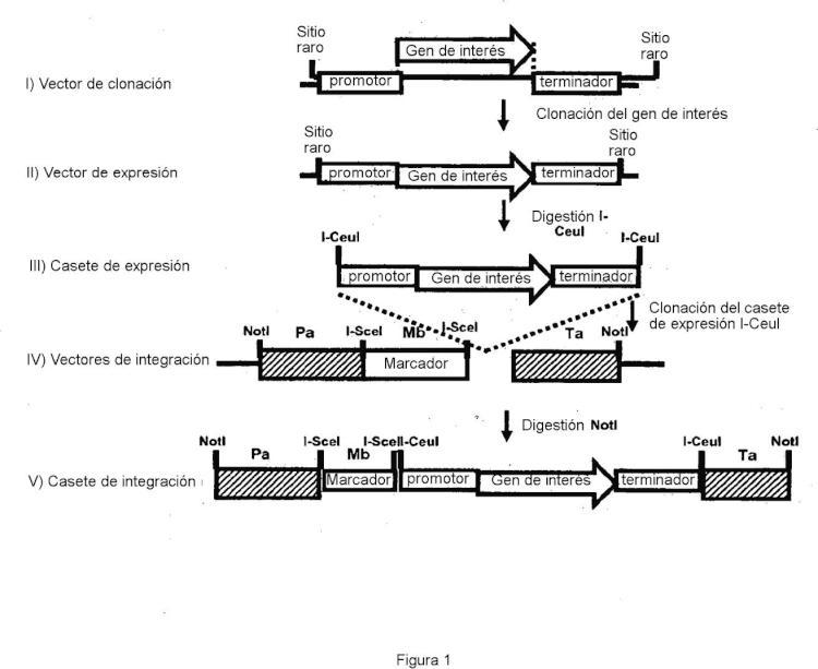Procedimiento de integración localizada de múltiples copias de un gen de interés en una cepa de Yarrowia.