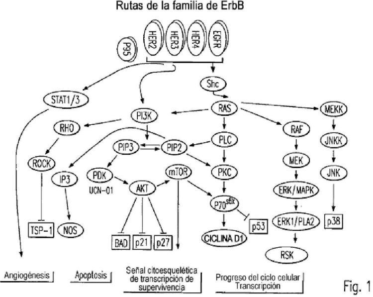 Método para la detección de receptores truncados intracelulares.