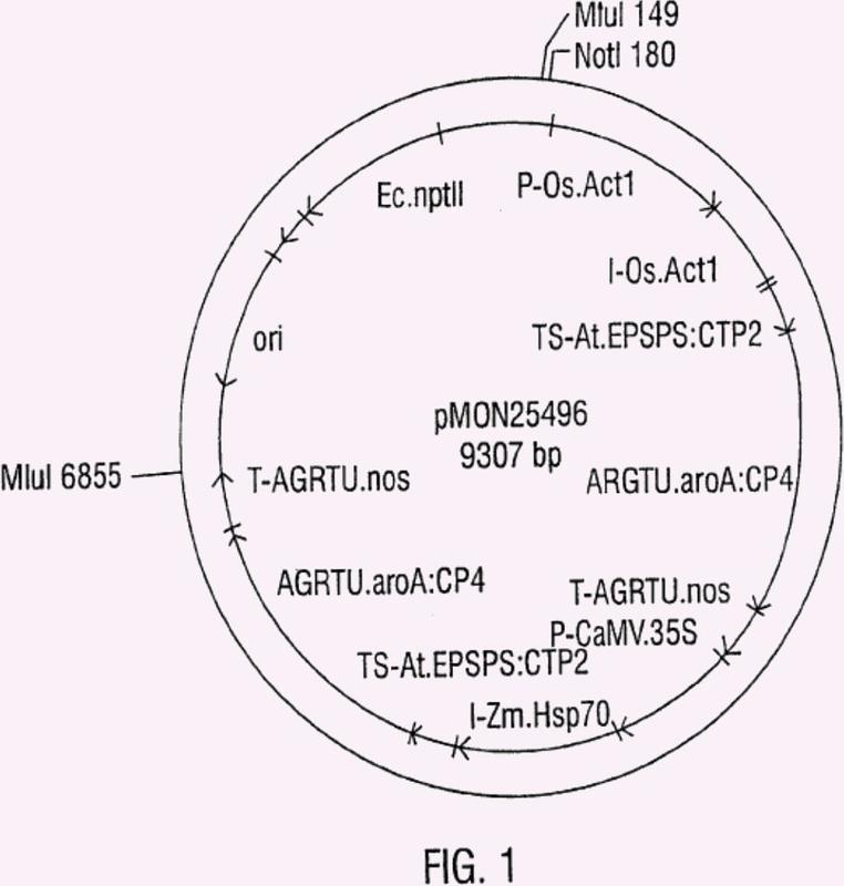 Evento PV-ZMGT32 (nk603) en maíz y composiciones y procedimientos para la detección del mismo.