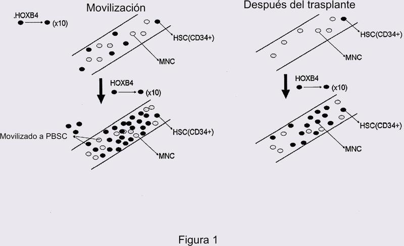 Método para la producción de proteína TAT-HOXB4H recombinante para su utilización como estimulante de la hematopoyesis in vivo.