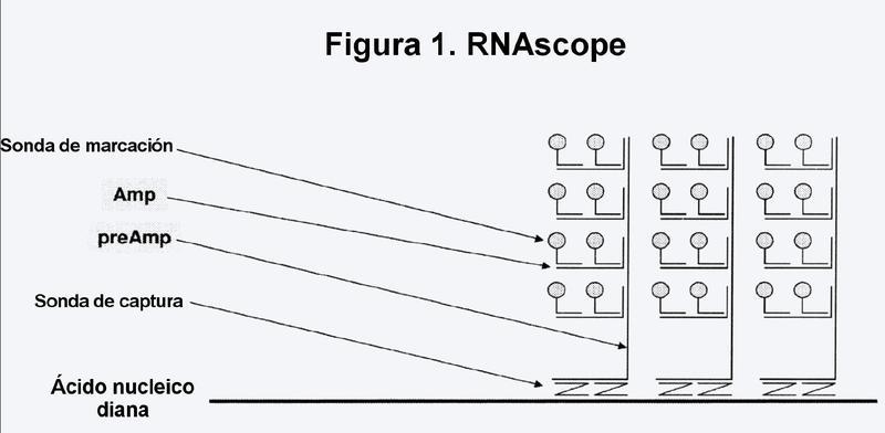 Método ultrasensible para la detección in situ de ácidos nucleicos.