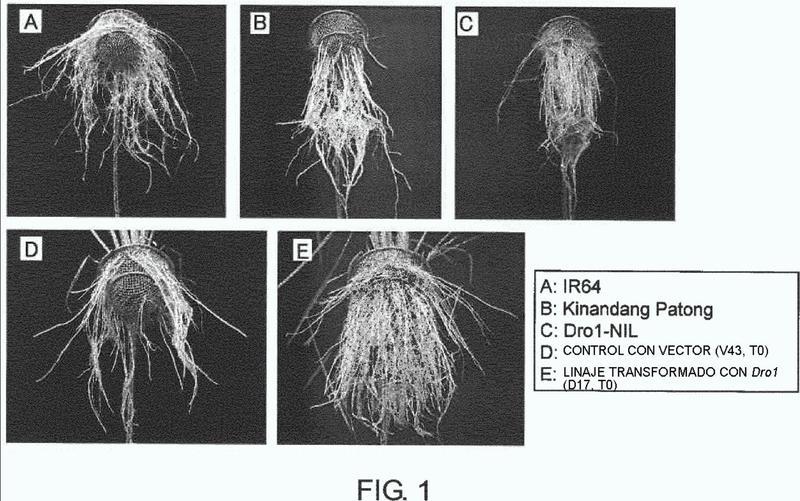 Gen Dro1 que controla características de enraizamiento profundo de planta y utilización del mismo.