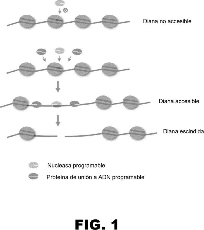Uso de proteínas de unión a ADN programables para potenciar la modificación dirigida del genoma.
