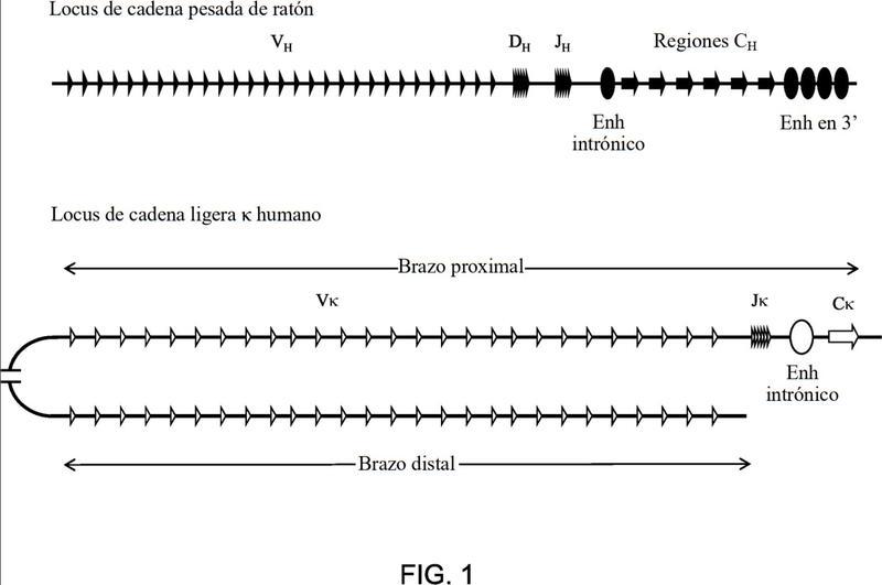Proteínas VL de unión a antígeno que exhiben diferentes características de unión.